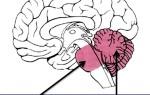 Задний мозг: за что отвечает, строение и функции