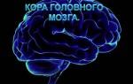 Кора головного мозга: функции и особенности строения