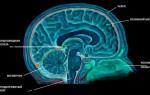 Что такое шишковидная железа головного мозга?