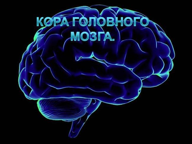 кора мозга