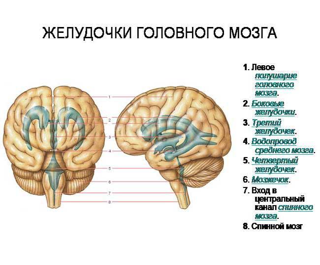 желудочки мозга взрослого