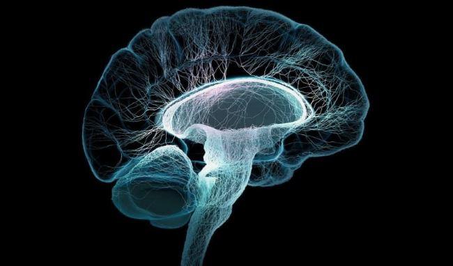 Строение ствола мозга
