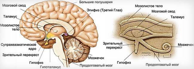 Строение железы