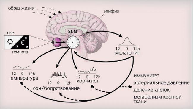 Влияние выделяемых гормонов