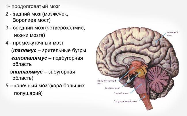 Отделы мозга головы