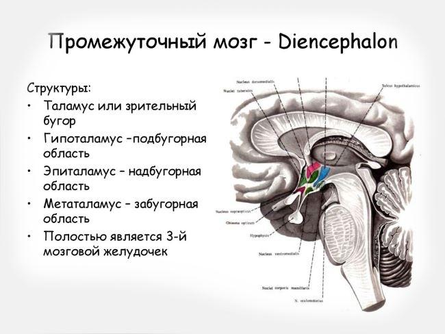Строение Dencephalon