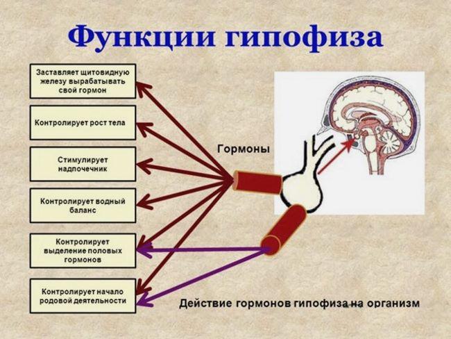 Функции железы
