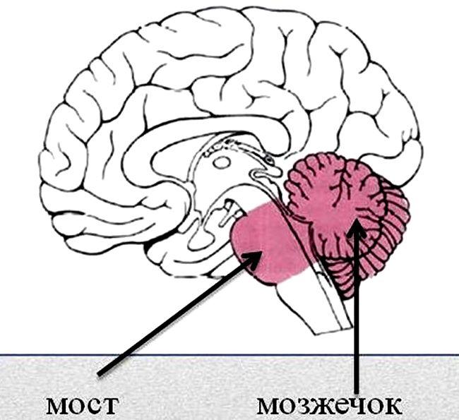 Мост и мозжечок мозга