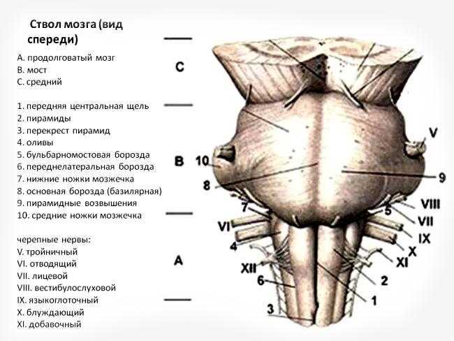Черепные нервы мозга